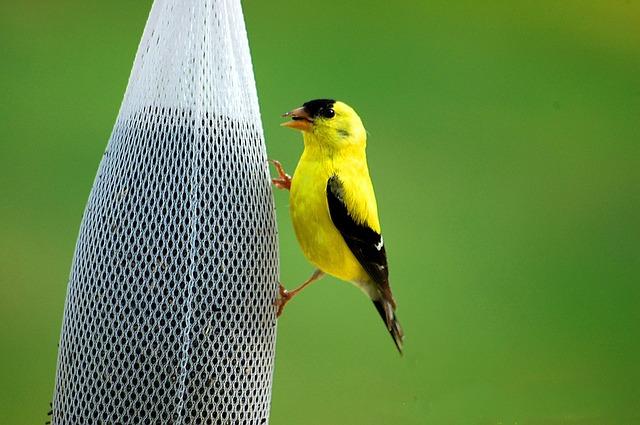 Jilguero amarillo o dorado