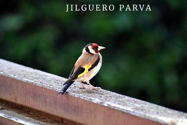 Jilguero Parva