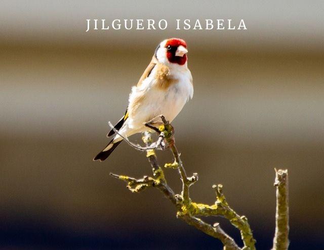 Jilguero Isabela