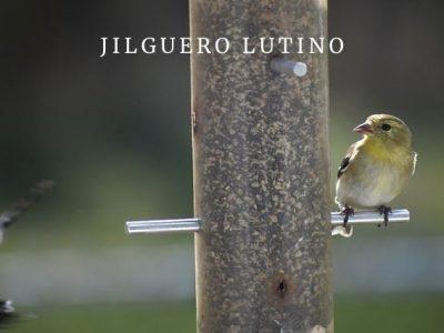 Jilguero Lutino