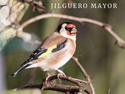 Jilguero Mayor