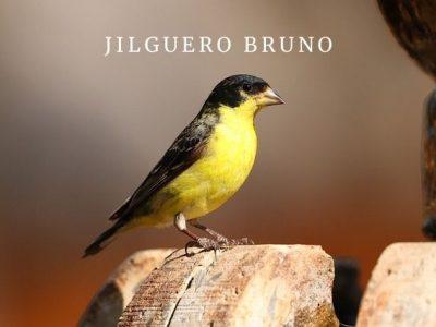 Jilguero Bruno